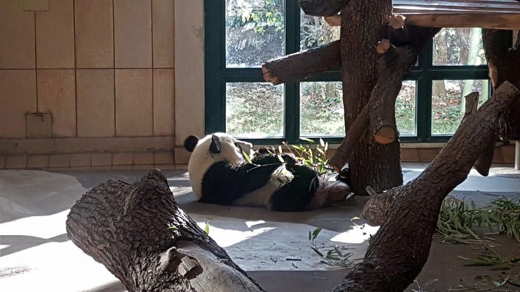 schonbrunn-zoo-panda