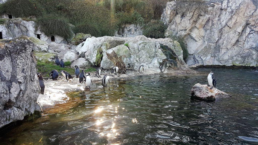 schonbrunn-zoo-penguins