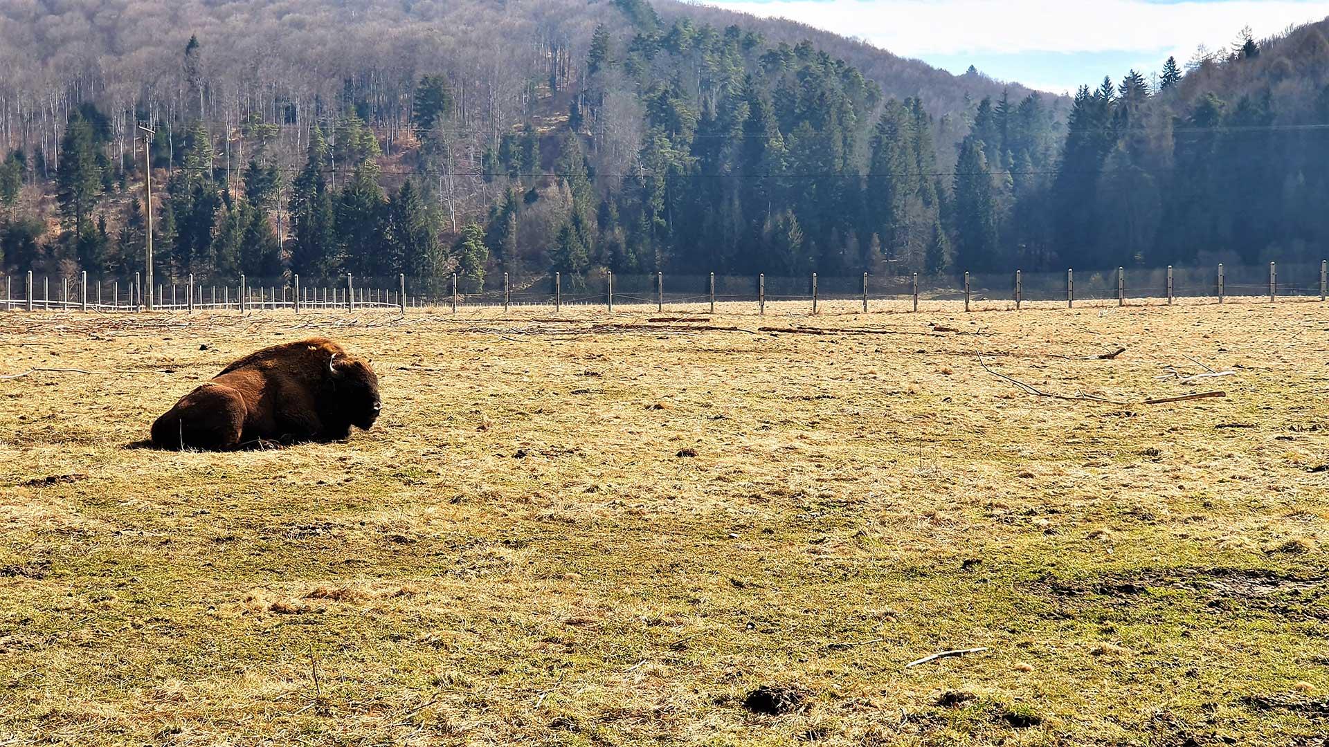 rezervatia valea zimbrilor vama buzaului